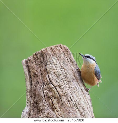 Eurasian nuthatch in tree trunk