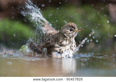 Mistle Thrush bathing with many splashes i nature water