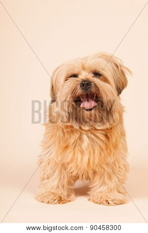 Little mixed breed dog with long hair on beige background