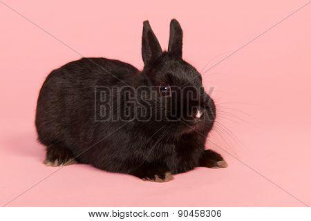 Black rabbit on pink background in studio