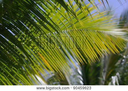 Coconut palm tree leaves