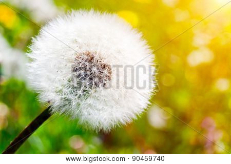 Close-up of dandelion on green sunny meadow. Spring theme