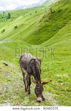 donkey, landscape of Piedmont near French borders, Italy