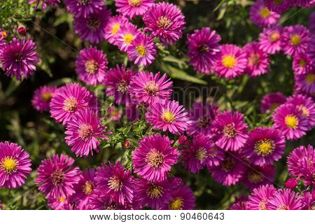 Close up of the pink chrysanthemum flowers