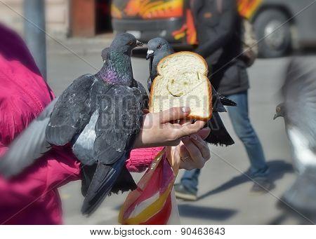 Feeding pigeons bread.
