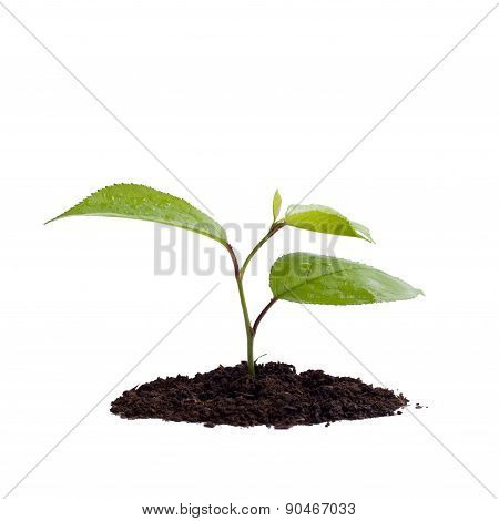Young Green Plant On A White Background