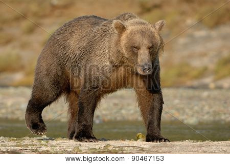 Grizzly Bear on beach