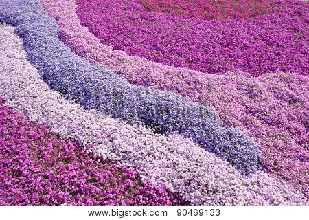 Purple, pink carpet of Phlox Subulata (creeping phlox, moss phlox, moss pink, or mountain phlox) flowers.