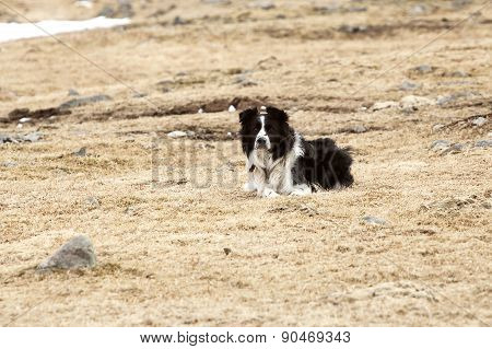 Portrait Of An Attentive Border Collie