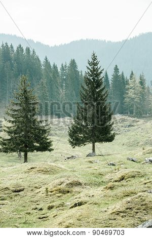 Lone Trees On Alpine Pasture With Forest In Background