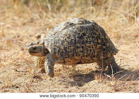 Leopard Tortoise on the move