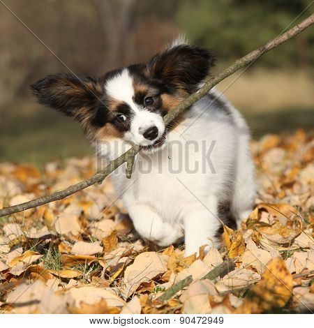 Adorable Papillon Puppy Playing With A Stick
