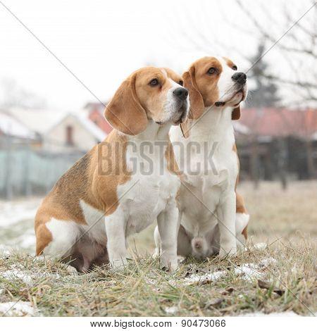 Amazing Beagles In Winter Garden