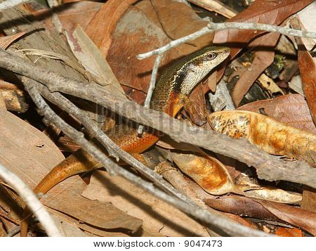 Closed-litter Rainbow Skink (carlia Longipes)