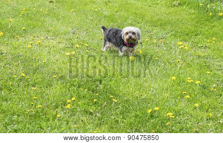 Yorkie on Grass in the Spring