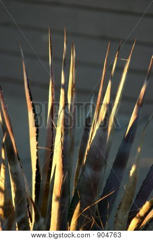Spines Of Agave Lechuguilla