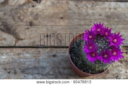 Beautiful blooming cactus