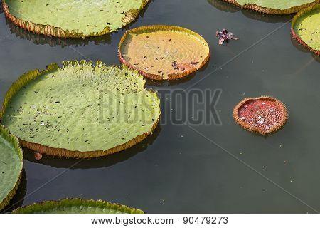 Lotus leaf in the pond