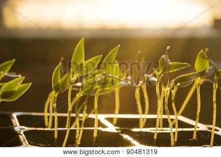 Seedlings at the window, young plant with water drops
