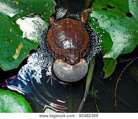 Male Banded bullfrog  calls for a mate with vocal sac inflated during mating season