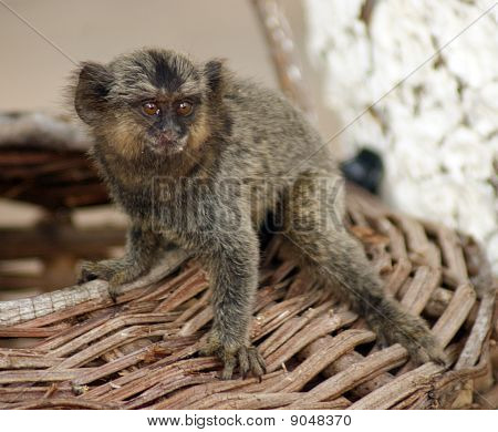 Common Marmoset - Callithrix Pygmy