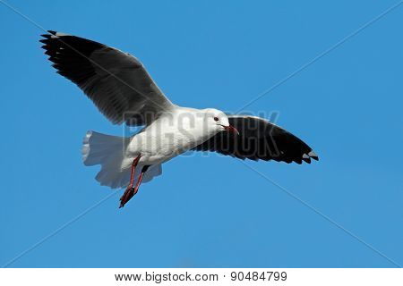 A Hartlaubs gull (Larus hartlaubii) in flight against a blue sky, South Africa