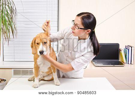 Vet examines the dog's ears of breed beagle