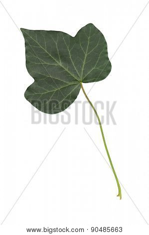 An image of a ivy leaf isolated on a white background
