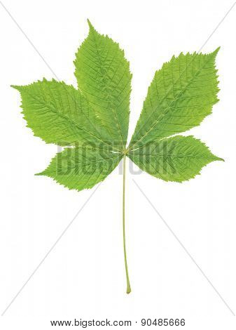 An image of a chestnut leaf isolated on a white background
