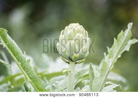 Artichoke On The Plant, Cynara Cardunculus