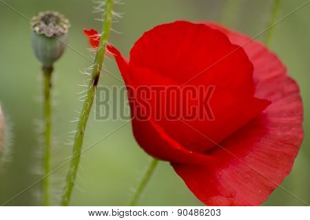 Poppies On The Field, Papaver Rhoeas