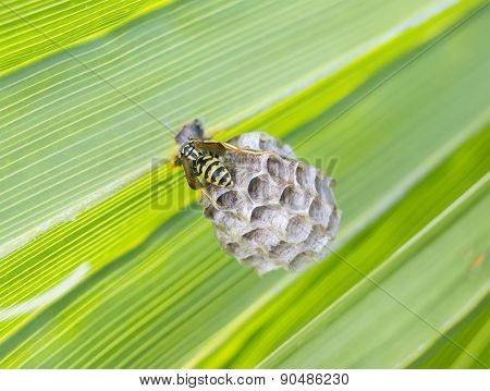 Wasp Building A Nest In A Palm Leaf