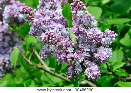 Syringa.Lilac blooming in May. Lilac.