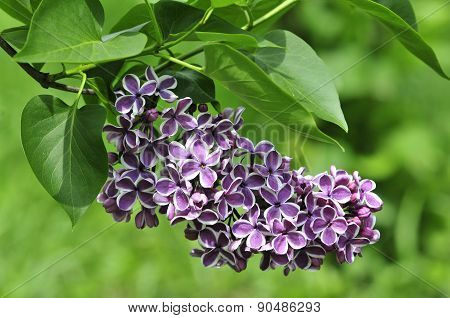 Lilac blooming in May. Lilac.Syringa.