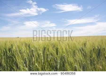 Closeup Unripe Wheat Ears. Blue Sky In The Background.