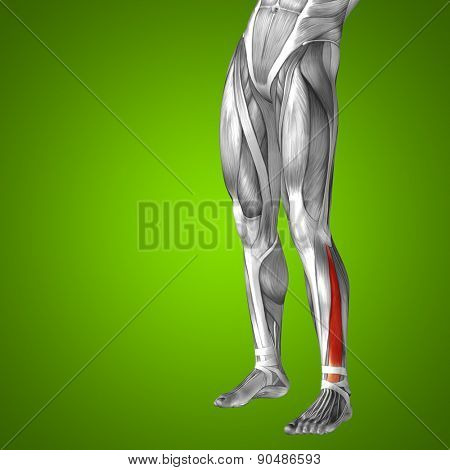Concept or conceptual 3D extensor digitorum longus human lower leg anatomy or anatomical and muscle on green gradient background