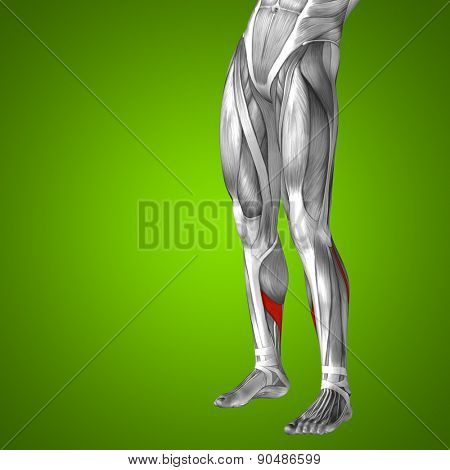 Concept or conceptual 3D human lower leg anatomy or anatomical and muscle on green gradient background