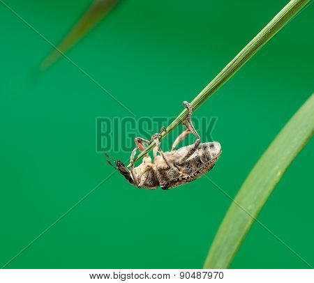 Beetle Hanging Under Grass