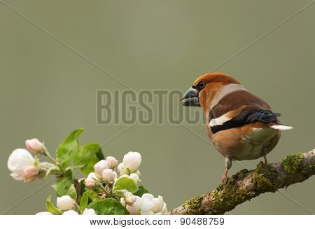 Hawfinch On A Branch (coccothraustes Coccothraustes)