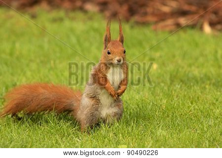 European Squirrel Standing On The Grass (sciurus)