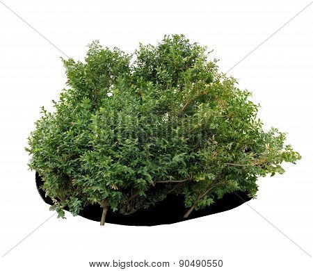 Boxwood shrub.