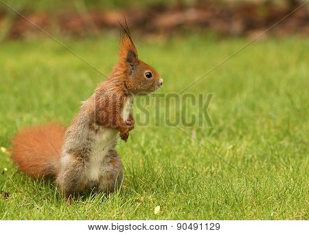 European Squirrel Sitting On The Grass (sciurus)