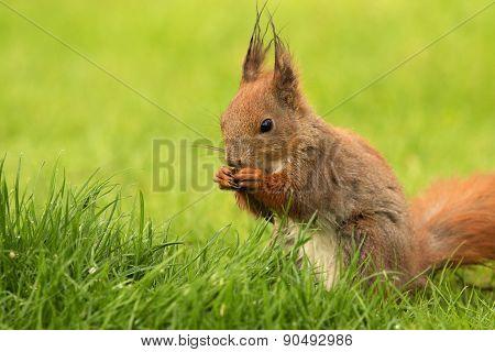 European Squirrel Eating Sunflower Seeds (sciurus)