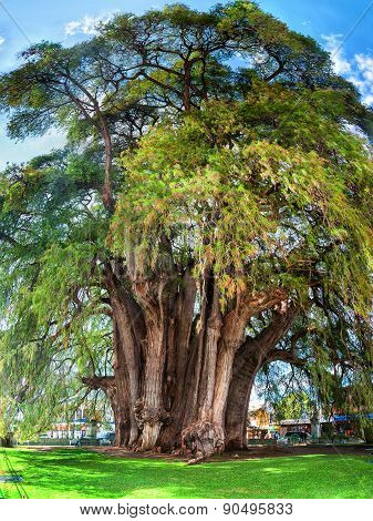 Montezuma Cypress Tree Of Tule, Mexico