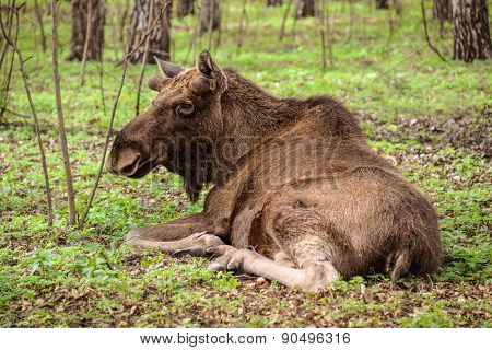 European moose lying in the spring  forest