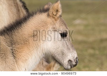 Wild Konik Horse Foal With Mother And Grass In Background