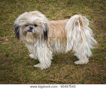 Cute And Shaggy Ungroomed Shih Tzu Dog