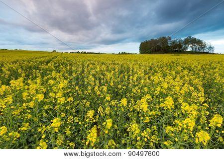 Blooming Rapeseed Field Under Cloudy Sky