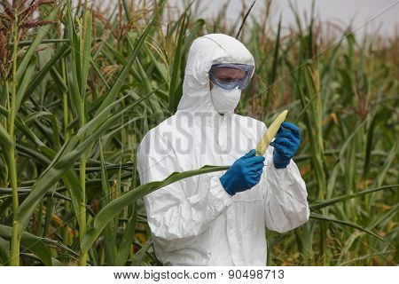 professional in uniform goggles,mask and gloves examining corn cob on field - close up
