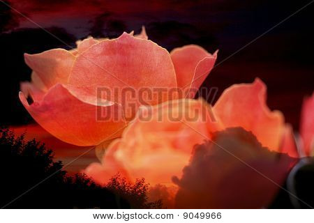 Rose With Shining Sunset